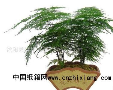 橡皮树 老根